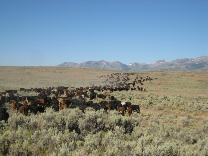 When gathering this many yearlings in country this big, each cowboy needs to gather his own circle, stay out of his neighbor's, but be ready to go help the guy next to him when he needs it.