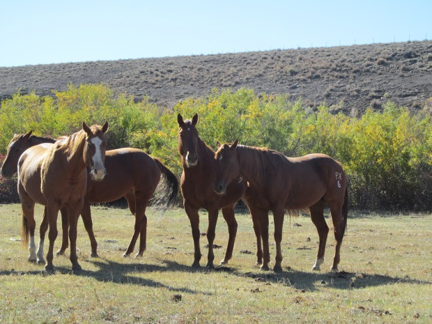 Two of our good geldings - Bob on the far left and Teaks, the PX horse, with his ears laid back. I kind of love that grumpy guy. Shorty is not in the picture, because he was chewing on the baby's stroller looking for grain. He's so standoffish it's ridiculous.